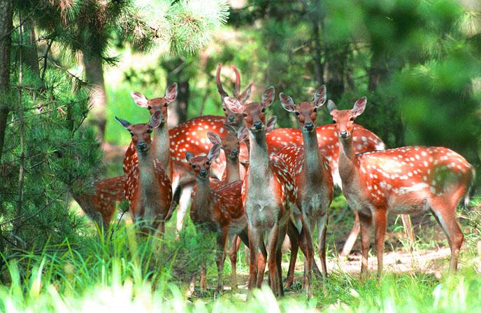 落户威海刘公岛国家森林公园,与岛上已有的100多头野生梅花鹿相邻为伴